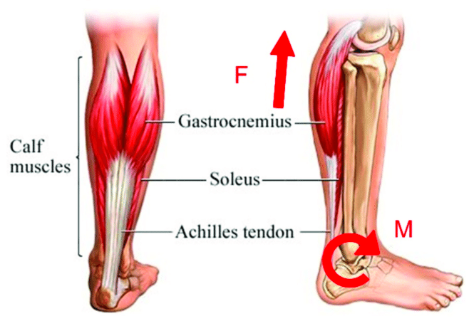 The composition of the calf muscles which plays a key role in propelling human body